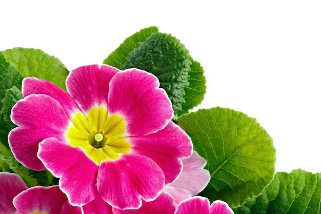 Flor primula vulgaris com botões de flor, isolados no fundo branco.