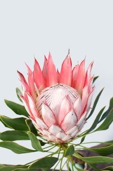 Flor protea vermelha em fundo branco