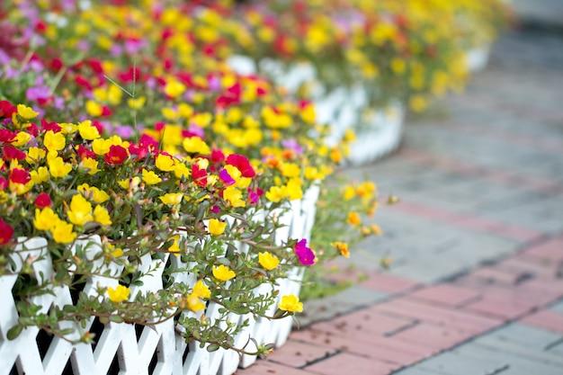 Flor purslane comum no jardim