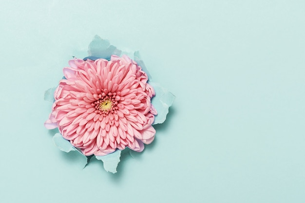 Flor rosa através de papel azul rasgado com espaço de cópia.