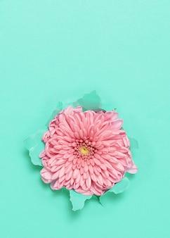 Flor rosa através de papel turquesa rasgado com espaço de cópia.
