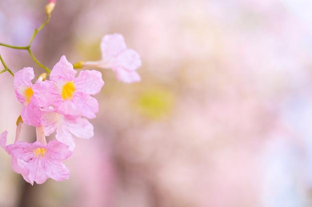 Flor rosa chompoo pantip blossom com o fundo desfocado. na província de nakhon pathom,