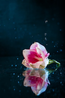 Flor rosa com água cai sobre parede azul escuro