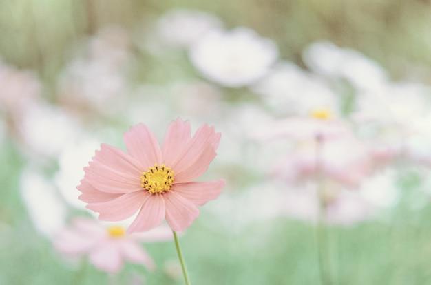 Flor rosa cosmos