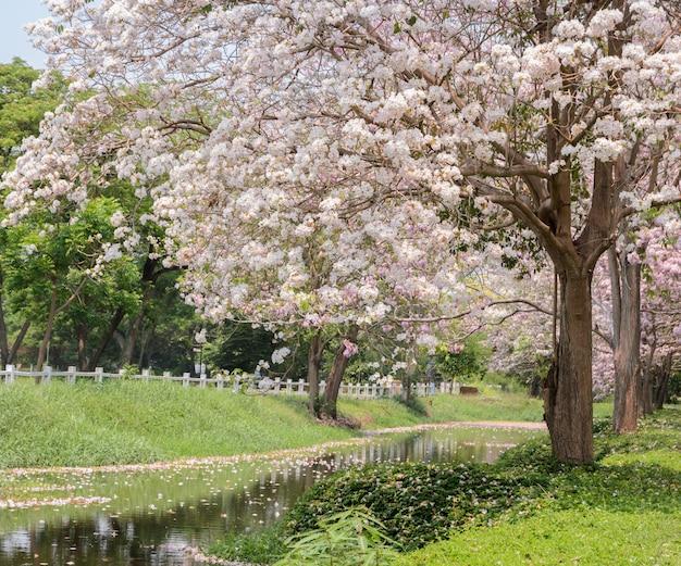 Flor rosa da árvore de trompete ao longo do canal