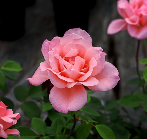 Flor rosa da variedade de flores rosa bênção