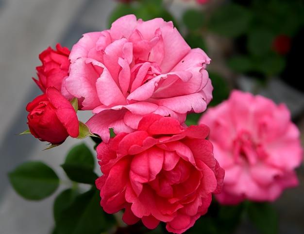 Flor rosa da variedade européia flores cor de rosa