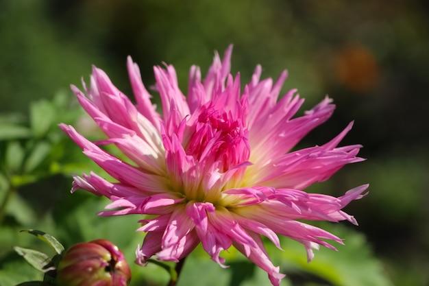 Flor rosa dália fresca em um jardim botânico de outono