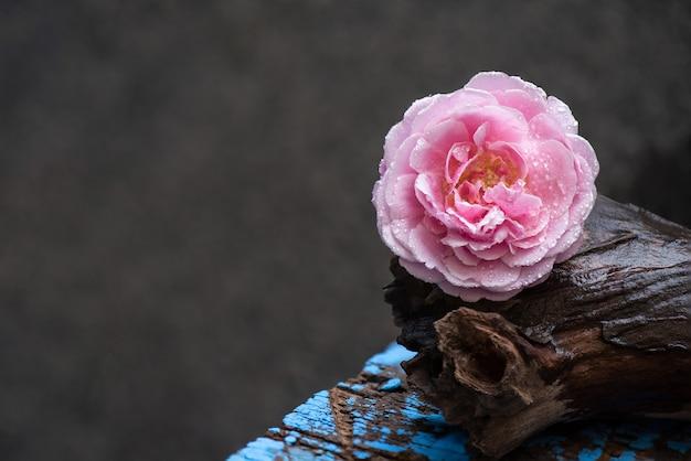 Flor rosa damasco rosa colocada em um velho tronco na superfície da natureza.