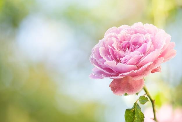 Flor rosa de damasco rosa que floresce no jardim.