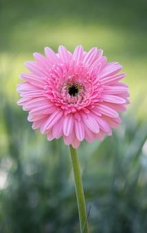 Flor rosa de gerbera em um jardim