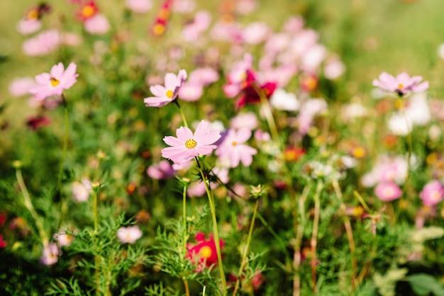 Flor rosa decorativa do jardim cosmos bipinnatus, cosmea bipinnata, bidens formosa. áster mexicano. foco seletivo suave.