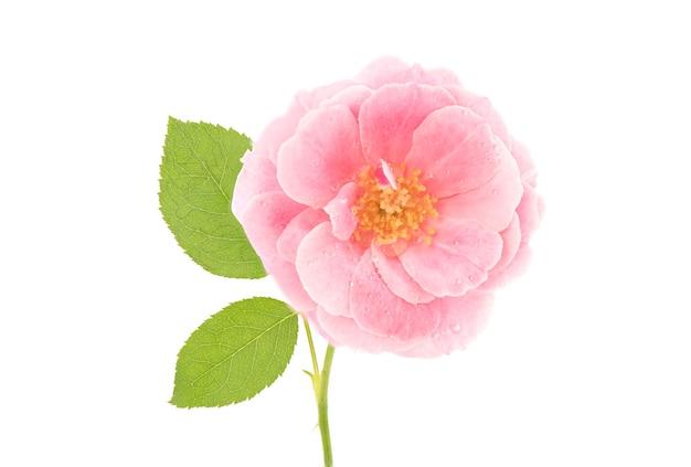 Flor rosa do damasco isolada no fundo branco.