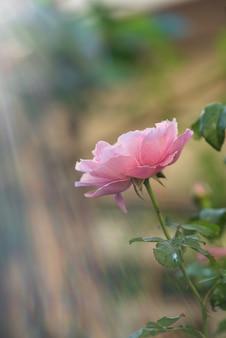 Flor rosa do damasco rosa na superfície da natureza com fotografia retroiluminada.
