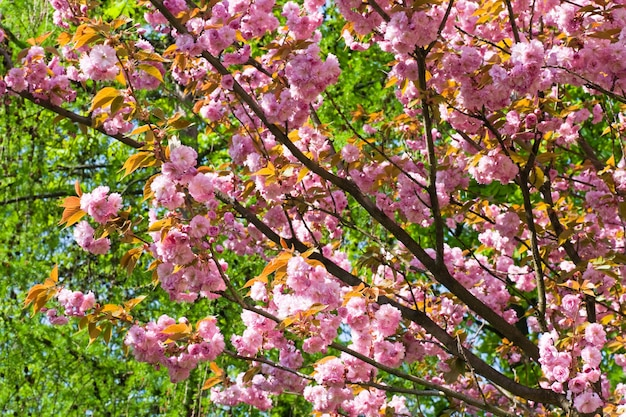 Flor rosa do ramo de cerejeira japonesa (fundo da natureza)