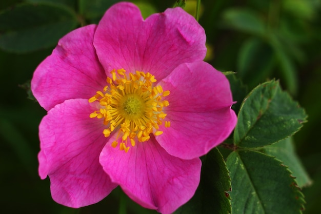 Flor rosa dos quadris close-up