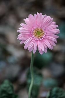 Flor rosa gerbera