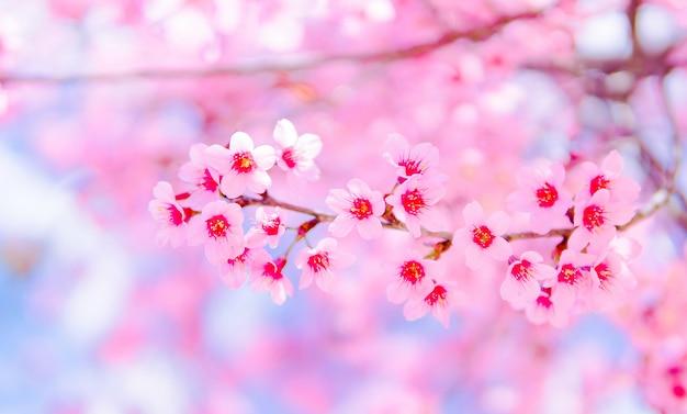 Flor rosa linda e selvagem do himalaia cherry blossom ou sakura