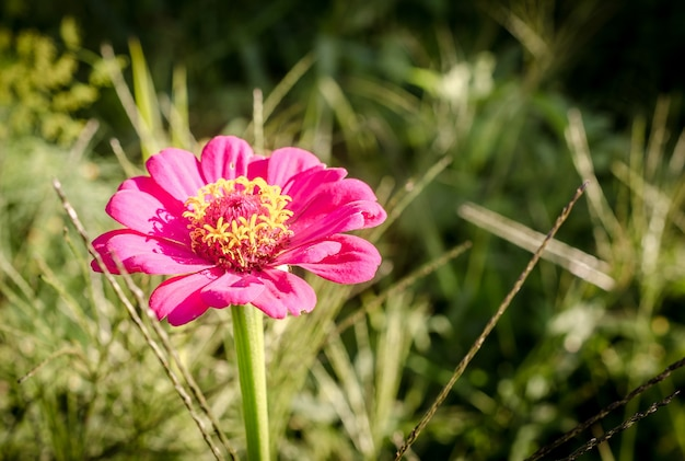 Flor rosa na grama close-up