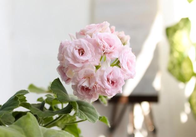 Flor rosa pelargônio interior. os gerânios estão florescendo.