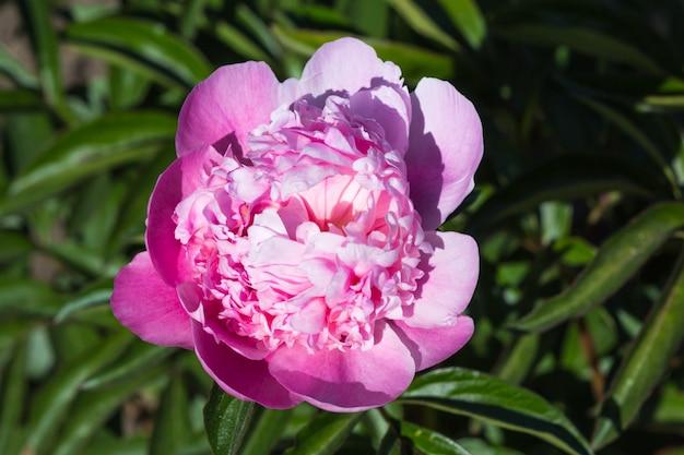 Flor rosa peônia