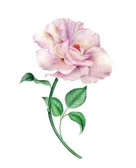 Flor rosa rosa com folhas verdes, isolado em uma ilustração botânica em aquarela de fundo branco