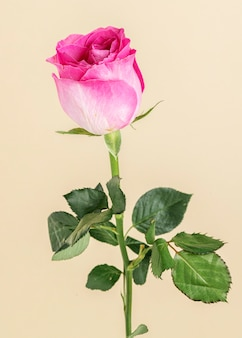 Flor rosa rosa desabrochando
