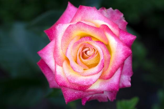 Flor rosa rosa, macro
