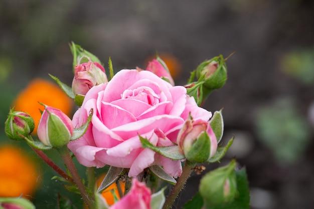 Flor rosa rosa (rosaceae) com botões no jardim.