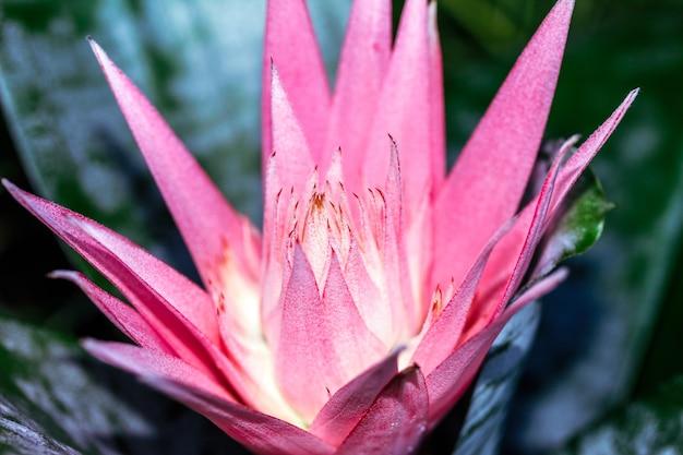 Flor rosa terrosa, mas semelhante à flor do lírio d'água