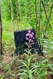 Flor rosa, troncos de árvores jovens contra o toco carbonizado e grama verde