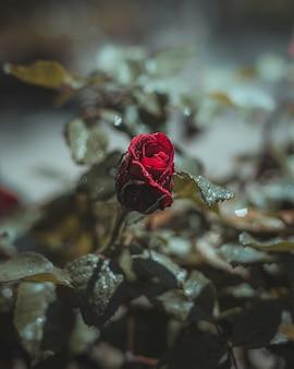 Flor rosa vermelha com gotas de água