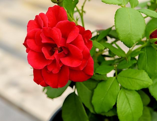 Flor rosa vermelha da variedade europeanan em um fundo de folhagem verde.