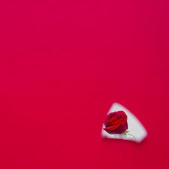 Flor rosa vermelha na reflexão de peça de espelho