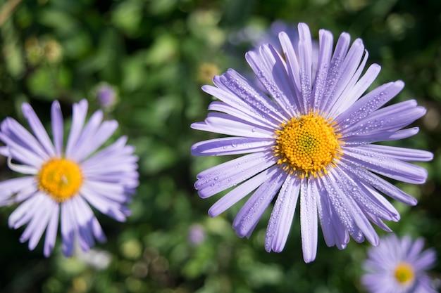 Flor roxa com gotas de orvalho na turva