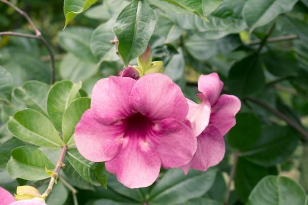 Flor roxa de allamanda (allamanda blanchetii) com folhas verdes