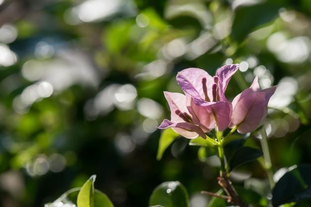 Flor roxa de buganvílias