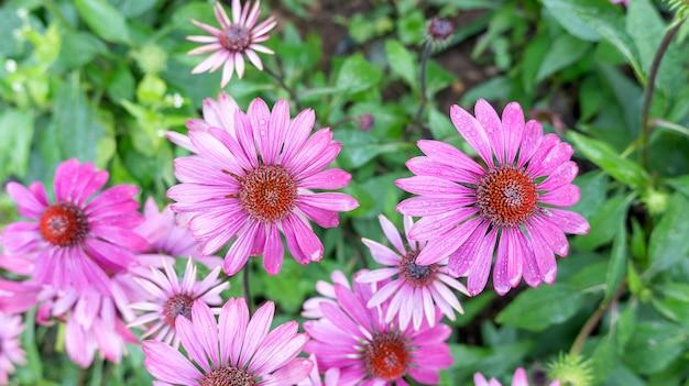 Flor roxa do echinacea em um jardim.