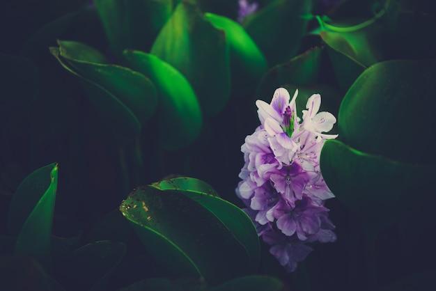 Flor roxa do jacinto de água do close-up que floresce na lagoa e no fundo verde da folha.
