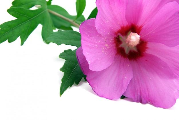 Flor roxa isolada no branco