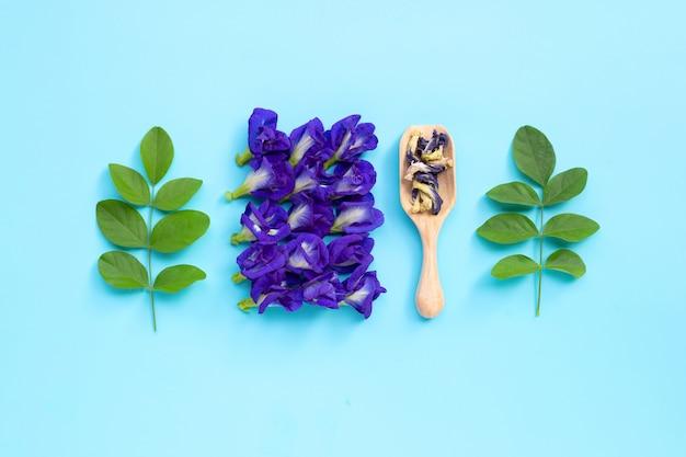Flor seca da ervilha de borboleta com as folhas verdes no fundo azul.