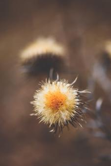 Flor seca de cardo na floresta de outono