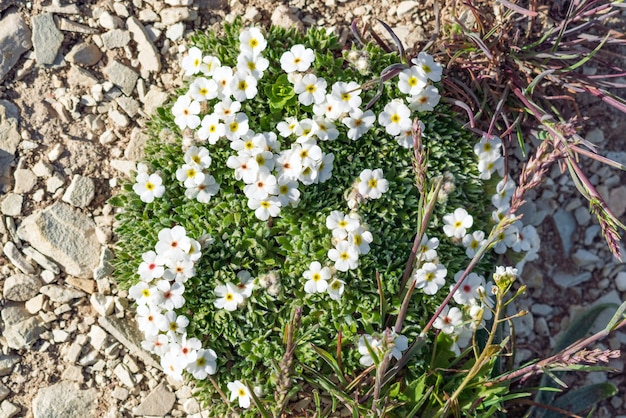 Flor selvagem branca de androsace villosa