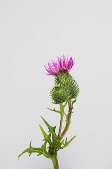 Flor selvagem de um roxo e cor-de-rosa. lay plana. vista de cima.