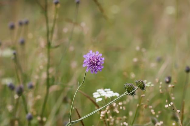 Flor selvagem roxa de escabiose ou knautia arvensis