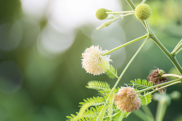 Flor sensível gigante, maiyaraap ton flower