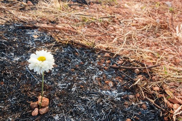 Flor sobreviver em cinzas de grama queimada
