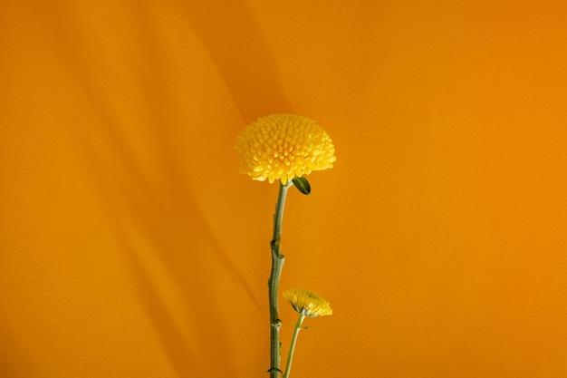 Flor suave de calêndula amarela em fundo amarelo escuro cópia espaço e closeup estética natureza morta ...