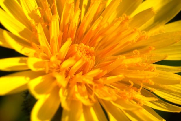 Flor (taraxacum vulgare)