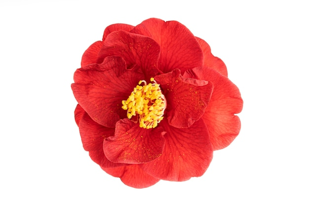 Flor total de camélia vermelha com estame amarelo e pistilos isolados no branco
